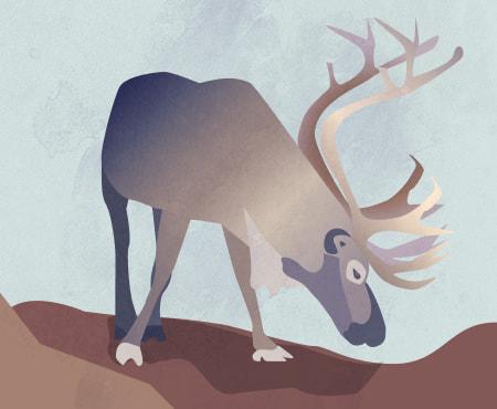 et vanlig-reinsdyr