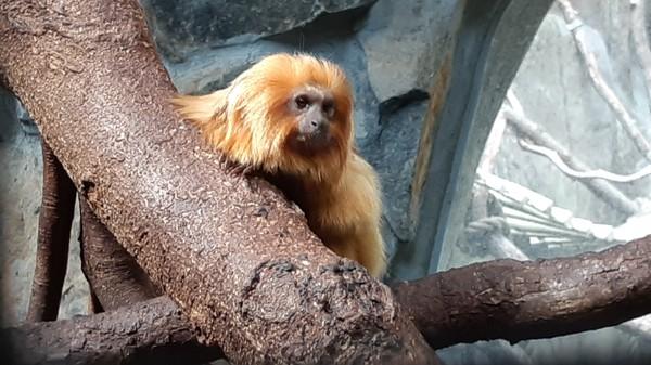 Bildet viser en apekatt på en gren.